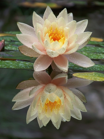 http://www.dreamstime.com/stock-photography-lotus-flower-image21542002